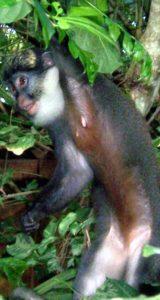 Les singe à ventre rouge