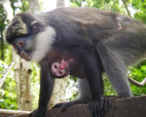 Restauration de l'habitat des primates