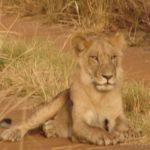Lion_pendjari_EcoBenin.jpg
