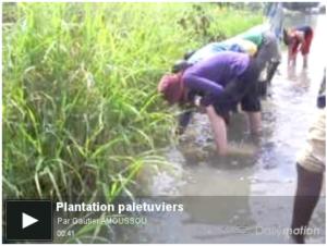 Plantation de palétuviers – Lac Ahémé