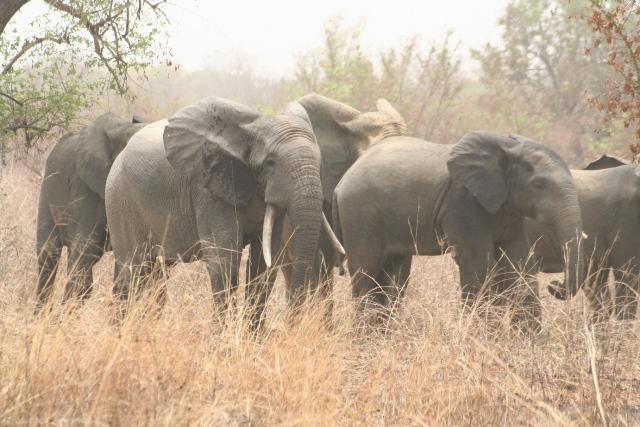 Suivi écologique des éléphants d'Alfakoara au Parc W/Bénin