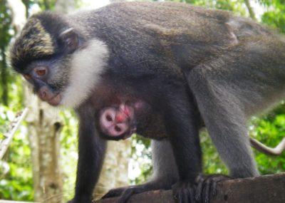 photo singe a ventre rouge Benin