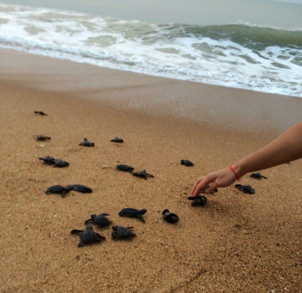 Soutenons les écloseries de tortues marines de la Réserve de la Bouche du Roy