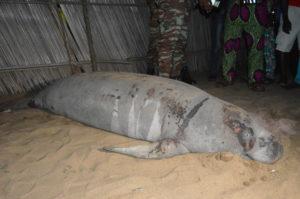 Un lamantin d'Afrique sauvé et libéré dans les eaux de la Réserve la Bouche du Roy, un écosystème adapté !