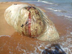 Une baleine morte échoue à l'embouchure de la Réserve la Bouche du Roy
