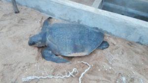 Protection des espèces marines de la Réserve la Bouche du Roy, une tortue olivâtre sauvée !!