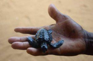 Soutien pour la sauvegarde des tortues marines et le développement des écloseries d'Avlo, d'Allongo et d'Hokoué dans l'ACCB La Bouche du Roy.