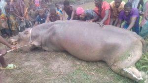 Lacs Ahémé et Toho, l'hippopotame solitaire emblématique est mort !