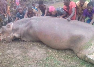 Photo Décès Hippopotame du lac Ahémé - Bénin